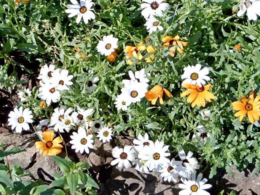 диморфотека, цветы для сада, фото и названия