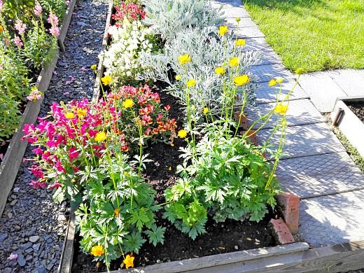 душистый табак, жарки, цинерария и львиный зев, цветы для сада, фото и названия