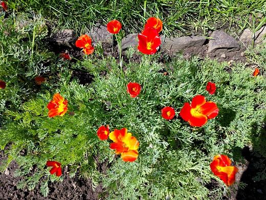 эшшольция, цветы для сада, фото и названия