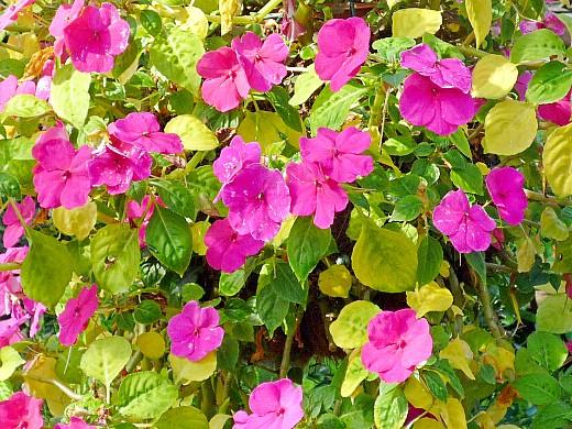 бальзамин низкорослый, цветы для сада, фото и названия