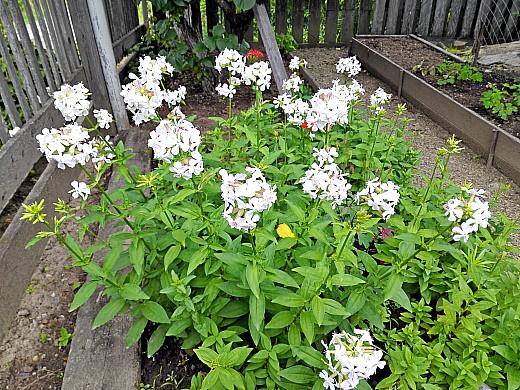 флокс высокорослый, цветы для сада, фото и названия