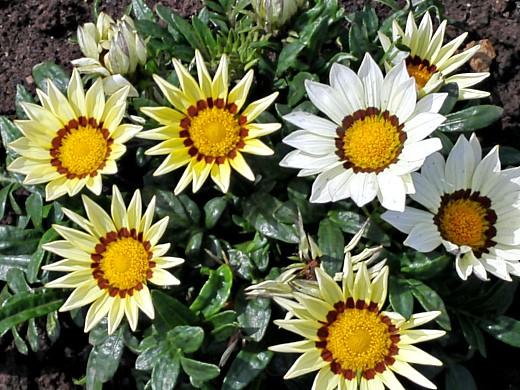 гацания (газания), цветы для сада, фото и названия