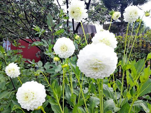 георгины многолетние, цветы для сада, фото и названия