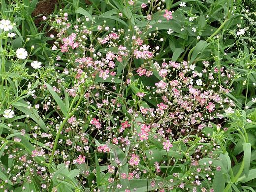гипсофила розовая и белая, цветы для сада, фото и названия