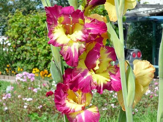 гладиолус 1, цветы для сада, фото и названия