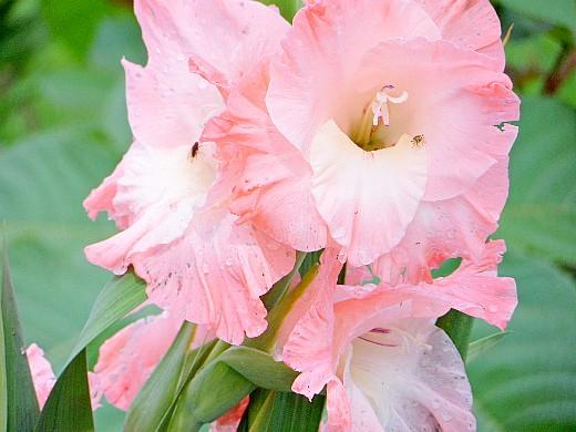 гладиолус 2, цветы для сада, фото и названия