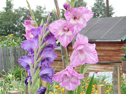 гладиолус 4, цветы для сада, фото и названия