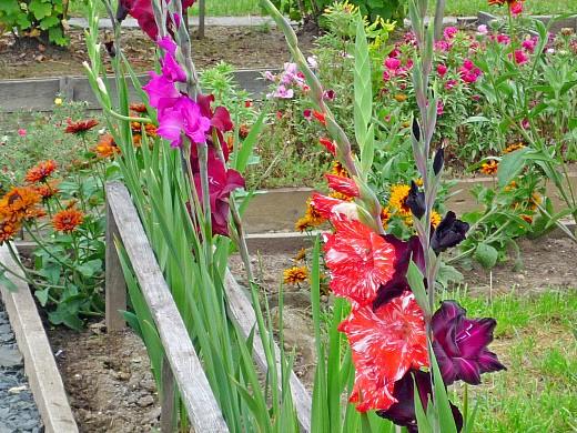 гладиолусы, цветы для сада, фото и названия