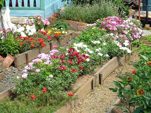 годеция, петуния и портулак, цветы для сада, фото и названия