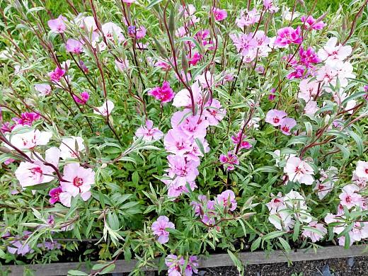 годеция, цветы для сада, фото и названия