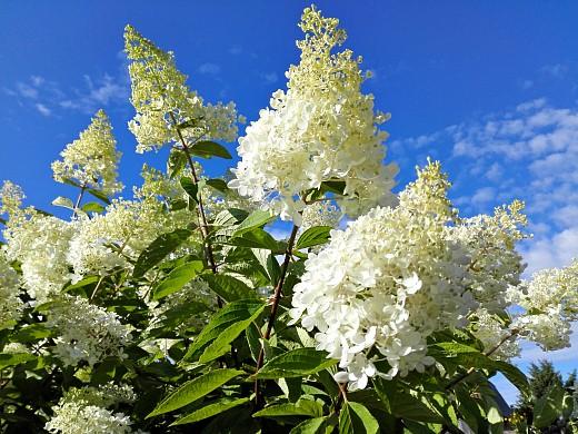 гортензия, цветы для сада, фото и названия