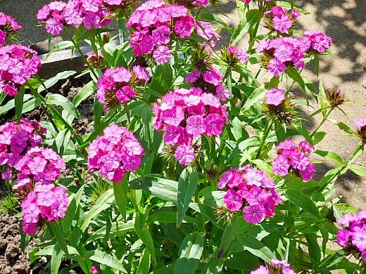 гвоздика турецкая махровая, цветы для сада, фото и названия