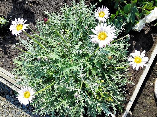 хризантема съедобная, цветы для сада, фото и названия
