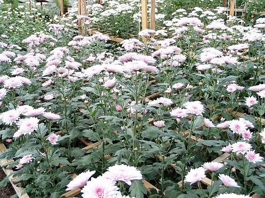 хризантема, цветы для сада, фото и названия