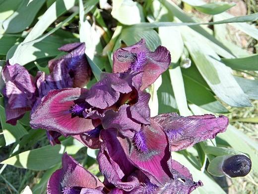 ирис 1, цветы для сада, фото и названия