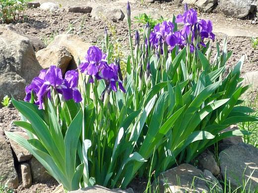 ирисы, цветы для сада, фото и названия