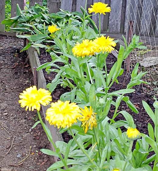 календула, цветы для сада, фото и названия