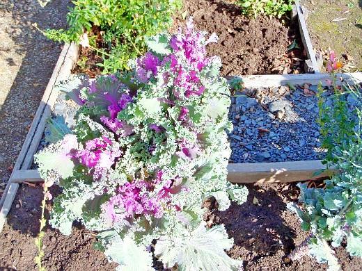 капуста декоративная, цветы для сада, фото и названия