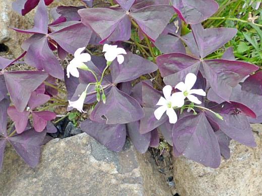 кислица треугольная, цветы для сада, фото и названия