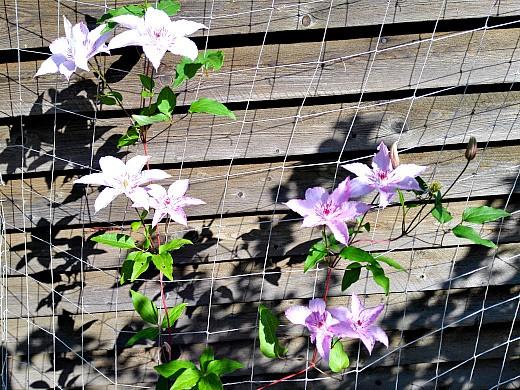 клематис 1, цветы для сада, фото и названия