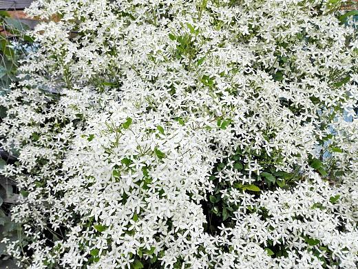 клематис, цветы для сада, фото и названия