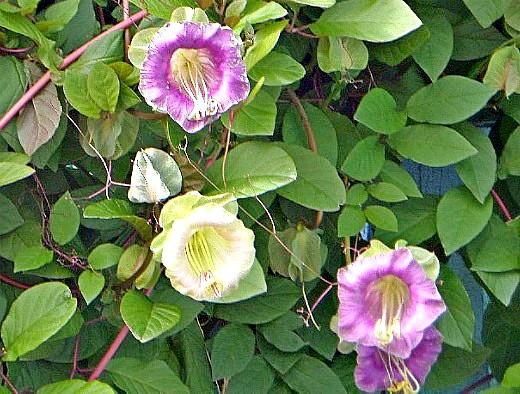 кобея, цветы для сада, фото и названия
