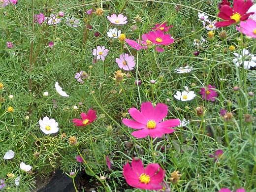 космея, цветы для сада, фото и названия
