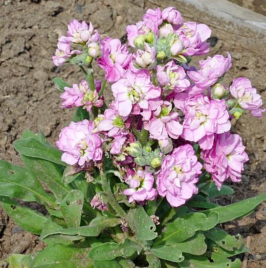 левкои, цветы для сада, фото и названия