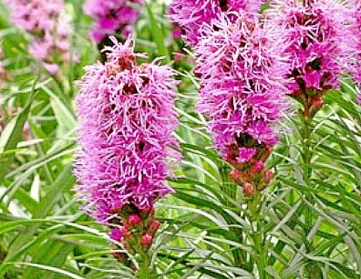 лиатрис, цветы для сада, фото и названия