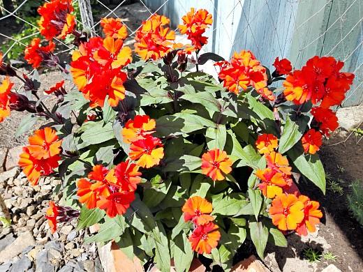 лихнис низкорослый, цветы для сада, фото и названия