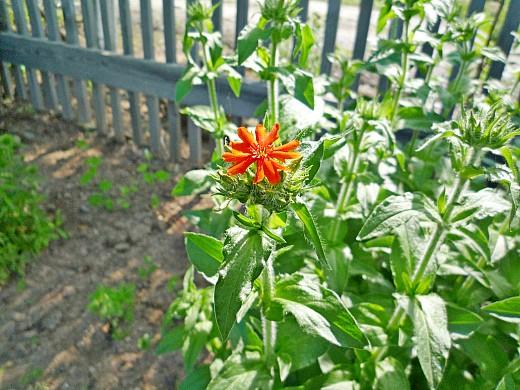 лихнис высокорослый, цветы для сада, фото и названия