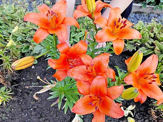 лилия азиатская, цветы для сада, фото и названия