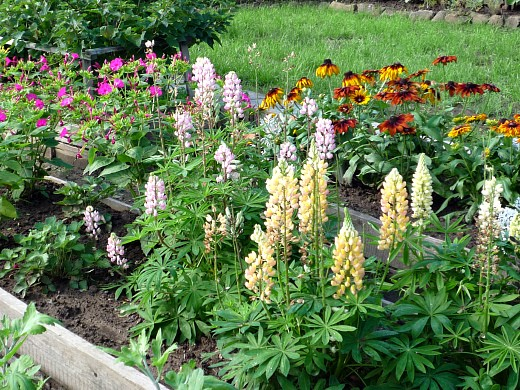 люпины, мирабилис и рудбекия на дачной клумбе, цветы для сада, фото и названия