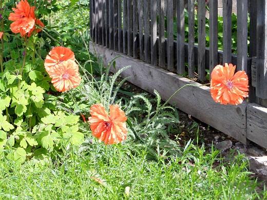 мак садовый, цветы для сада, фото и названия