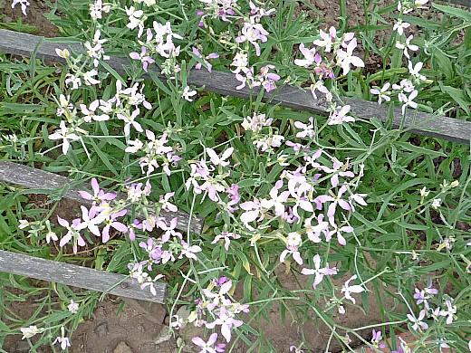 матиола, цветы для сада, фото и названия