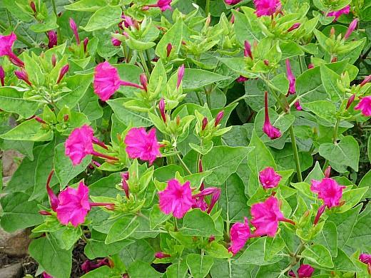 мирабилис, цветы для сада, фото и названия