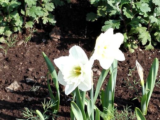 нарцисс, цветы для сада, фото и названия