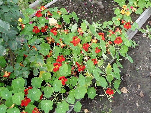 настурция, цветы для сада, фото и названия