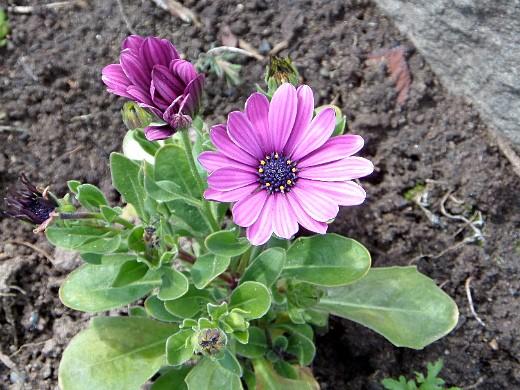 остеоспермум, цветы для сада, фото и названия