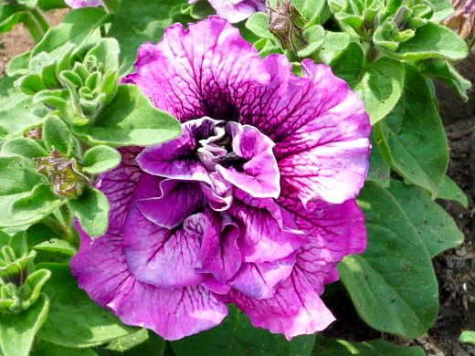 петуния махровая, цветы для сада, фото и названия