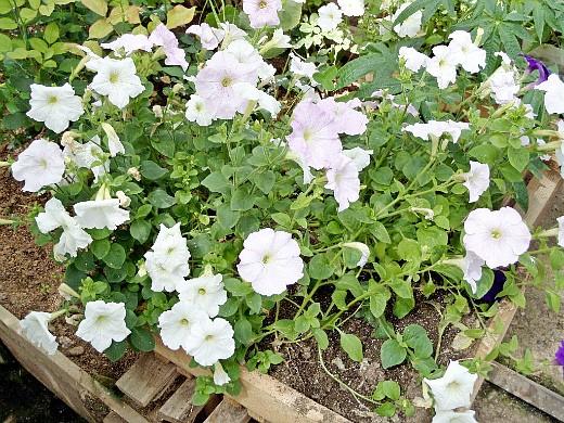 петуния простая, цветы для сада, фото и названия