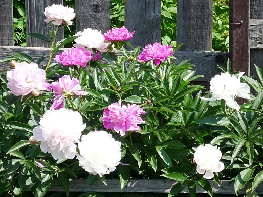 пионы, цветы для сада, фото и названия