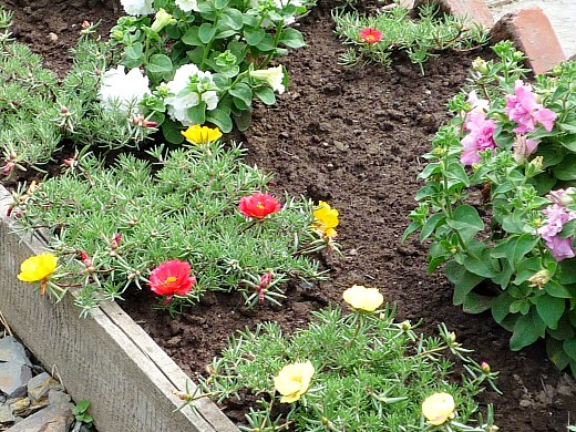 портулак и петуния, цветы для сада, фото и названия