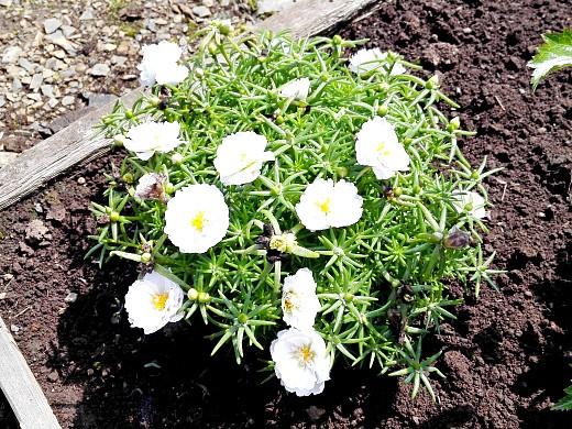 портулак, цветы для сада, фото и названия