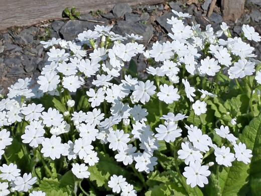 примула, цветы для сада, фото и названия