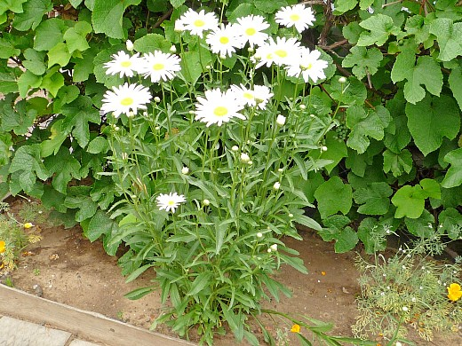 ромашка, цветы для сада, фото и названия