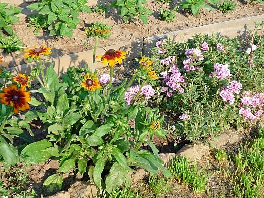 рудбекия и годеция, цветы для сада, фото и названия