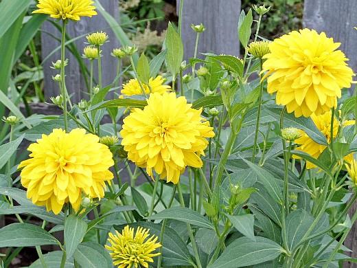 рудбекия золотой шар, цветы для сада, фото и названия