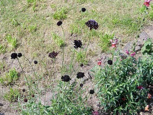 скабиоза, цветы для сада, фото и названия