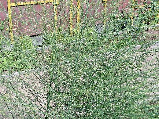 спаржа, цветы для сада, фото и названия